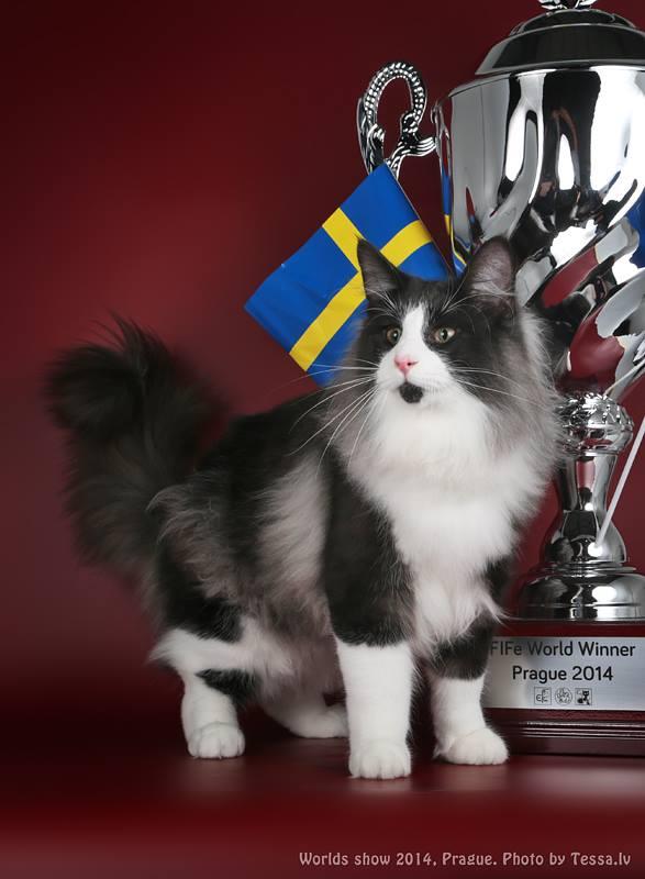 Gatto Norvegese Cuccioli Gatti Norvegesi Disponibili Visitaci