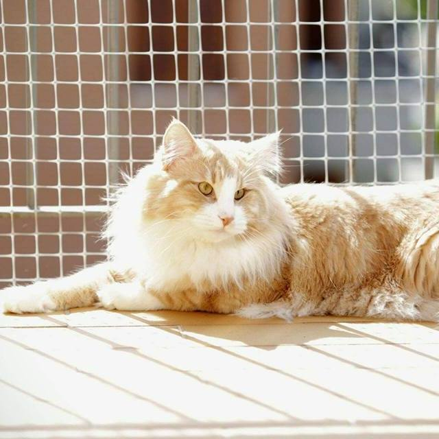 Plan Mating Norwegian Forest Cat--Piano di Accoppiamento Cucciolo Gatto Norvegese Weber
