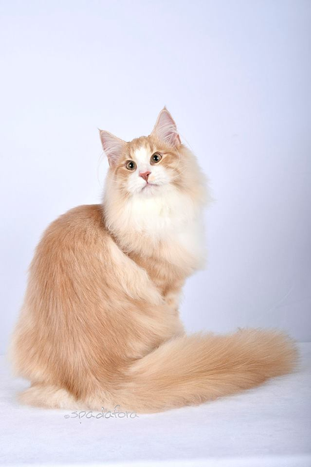 Gatto Norvegese Ic Weber Of Scratch Of Smiles Jw Gatto Norvegese